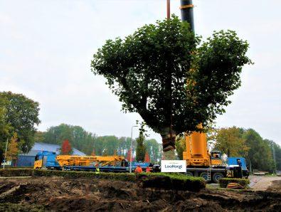Verplanten zware Plataan in Dronten